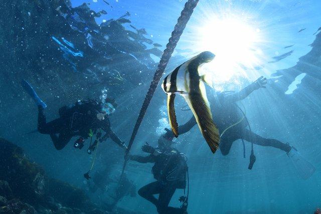 エントリーロープのツバメウオ幼魚