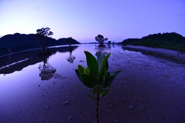 夕日のマングローブ