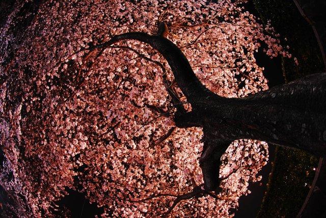 大きな木 夜桜