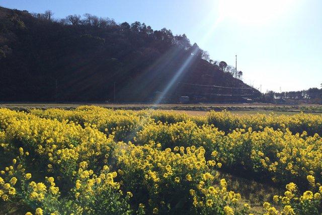 菜の花畑「井田」の文字