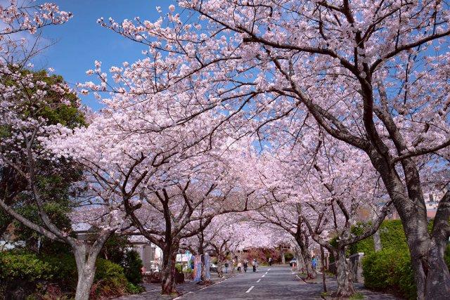 城ヶ崎海岸駅からの桜のトンネル