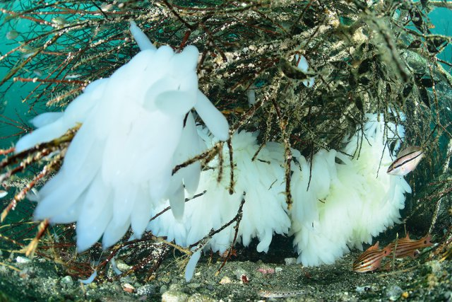 真っ白なアオリイカの卵