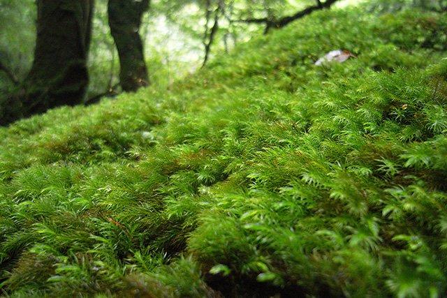 苔むした神聖な森