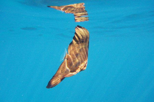 水面ぎりぎり葉っぱに擬態したツバメウオ