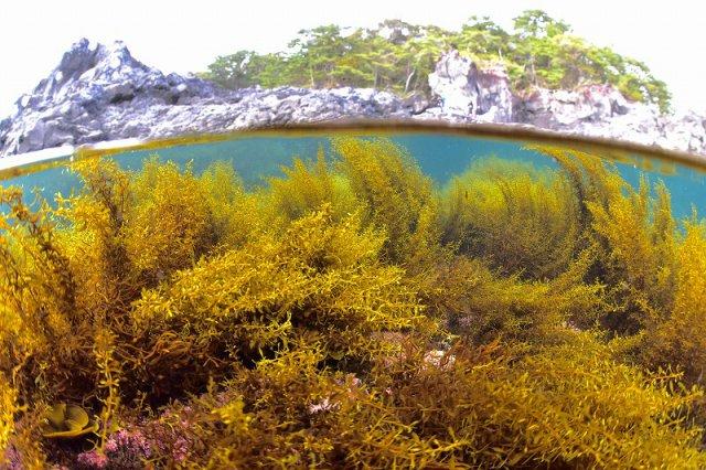 大淀小淀の海藻