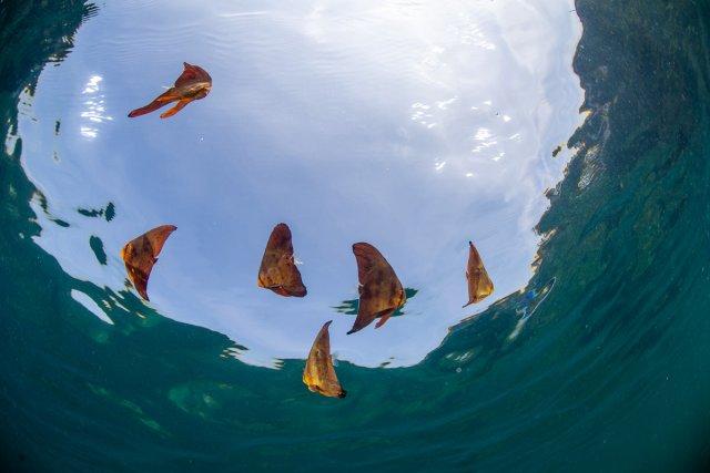 水面のツバメウオ幼魚