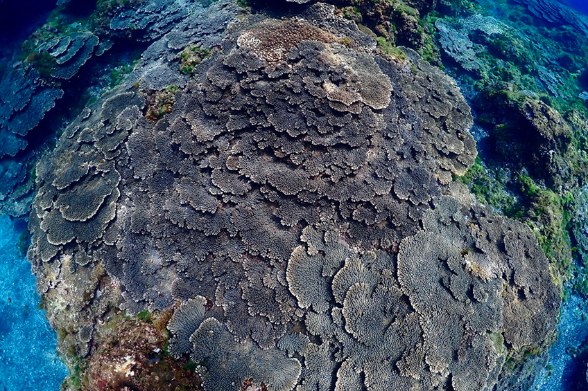 見事なサンゴの群生